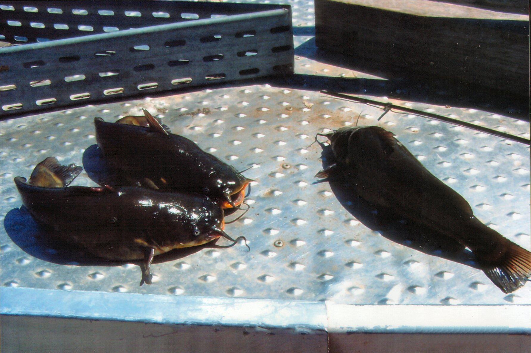 Pescegatto Nostrano Della Pescicoltura Travasoni